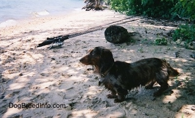 A Wet Elvis the long-haired dapple dachshund is standing in sand and facing towards a body of water
