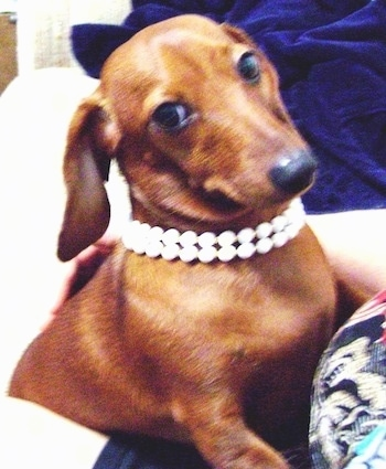 Gretta the tan Dachshund is laying on a couch next to a person and she has pearls around her neck