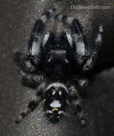 Close Up Top Down - Daring Jumping Spider crawling down a chair leg
