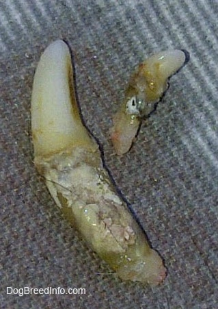 Two dirty teeth that were pulled out of the mouth of a dog.