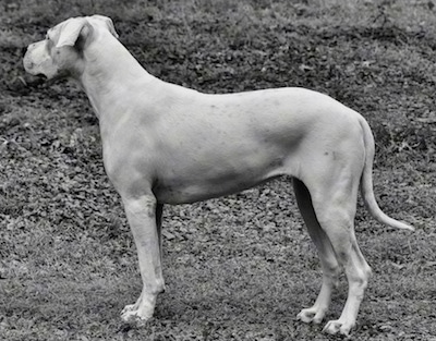 Black and white photo of Saley the Dogo Argentino is standing outside. She is interested in something to the left of the photo