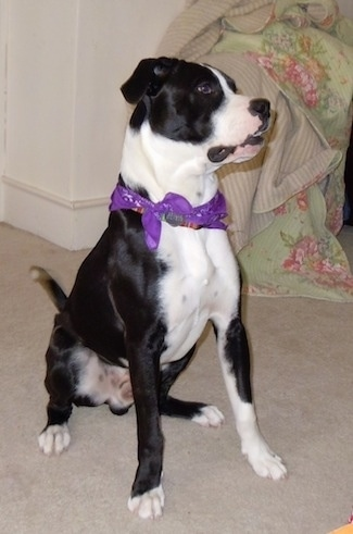 Briggs the black and white Bull Boxer Terrier wearing a striped collar and also a purple bandana. Briggs is sitting on a carpet and there is a flower print blanket piled on top of a chair in the corner