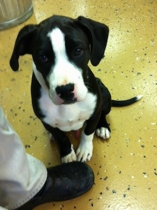 Briggs the black and white Bull Boxer Terrier as a puppy is sitting on a yellow floor in front of a person and looking up