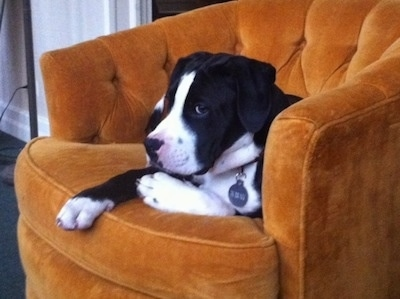 Briggs the black and white Bull Boxer Terrier puppy is laying in a orangish chair and looking forward