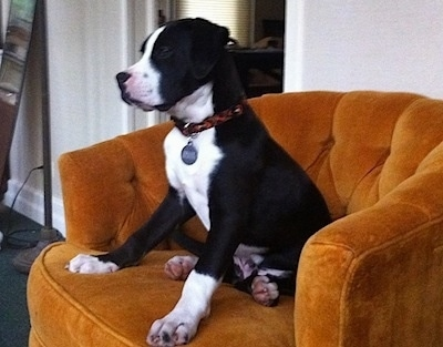 Side-view - Briggs the black and white Bull Boxer Terrier puppy is sitting in a orangish chair and looking forward