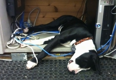 Briggs the black and white Bull Boxer Terrier as a puppy is sleeping on top of a buhch of wires next to a computer