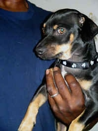 Bosco the Black and Tan Dachshund is being held up against the body of a person
