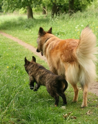 Dutch Shepherds Danthe Veunis for Songdog (as a puppy) & Aura. Courtesy of Heleen Klinkenberg.