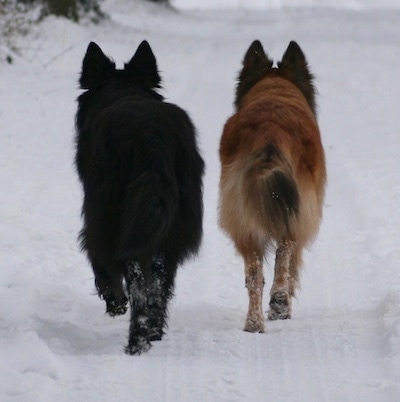 Dutch Shepherds Luhta v.d. Sylvester Stee & Aurelia (Aura). Courtesy of Heleen Klinkenberg.