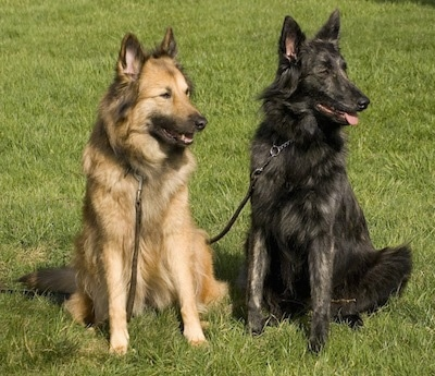 Dutch Shepherds - Aura (Aurelia - 7.5 years old) & Mira (Kyara Hasse v.d. Dorestee - almost 1 year old). Courtesy of Heleen Klinkenberg.