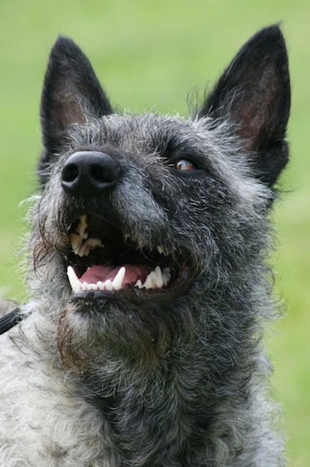 Close Up - Aloha Kakou Lani Lotje the gray wire-haired Dutch Shepherd is looking up and to the left with its mouth open