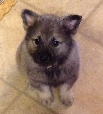 A gray and black Elk-Kee puppy is sitting on a tiled floor and looking up