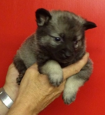 A gray and black Elk-Kee puppy is laying in a persons hands and being held up against a red backdrop