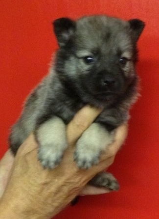 A gray and black Elk-Kee puppy is being held up against a red backdrop