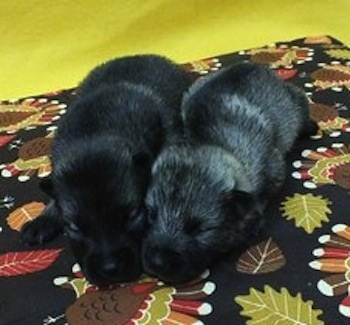Two Elk-Kee puppies are laying on a turkey print napkin next to a yellow wall.  One puppy is black and the other is gray and black.
