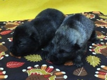 Two Elk-kee Puppies are sleeping on a turkey print surface with a yellow wall behind them. One puppy is black and the other is gray and black.
