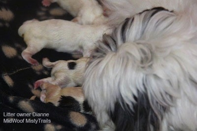 A litter of puppies nursing