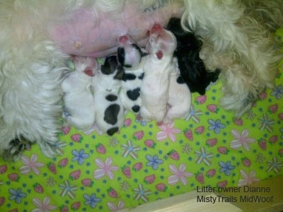 Close Up - Six Puppies nursing