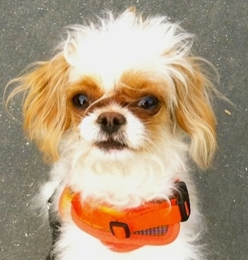 Close Up head shot - Poppy the brown and white Eng-A-Poo is wearing an orange harness sitting on a sidewalk