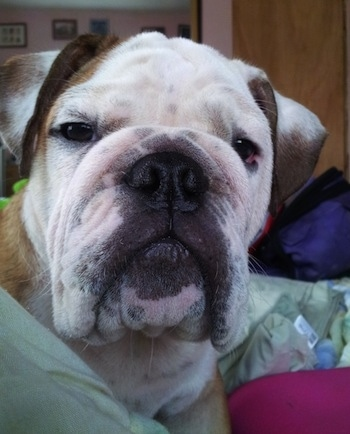 Close Up head shot - Thabo the English Bulldog laying on a bed and looking at a camera holder