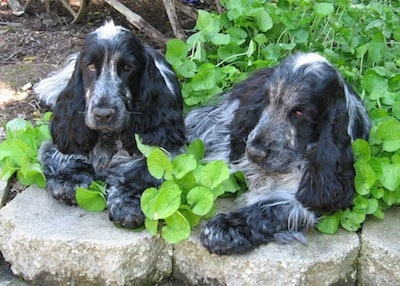 Kenny and Blue the black, gray and white English Cocker Spaniels are laying on top of stones with a plant growing in the garden behind them