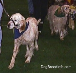 Two English Setters are being led across a show ring. The English Setter on the right has a gentle leader on.