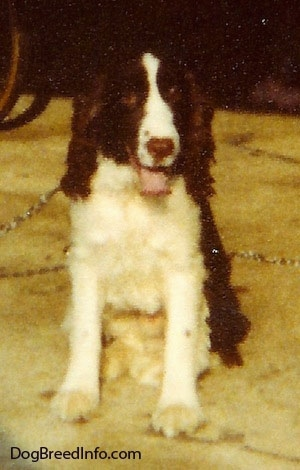 Kelov the English Springer Spaniel is sitting in an open garage. Its mouth is open and tongue is out