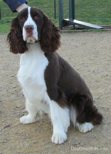 Becham the brown and white English Springer Spaniel is sitting outside in a park and looking forward. There is a person touching the back of Becham