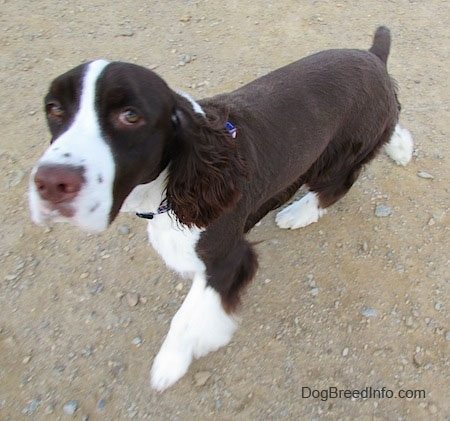 Becham the brown and white English Springer Spaniel is walking across a dirt path