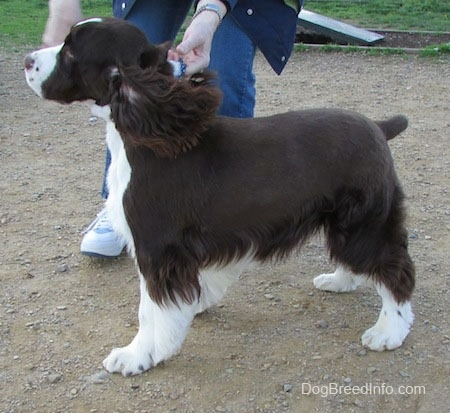 Left Profile - Becham the brown and white English Springer Spaniel is standing in dirt. There is a person behind Becham helping him pose