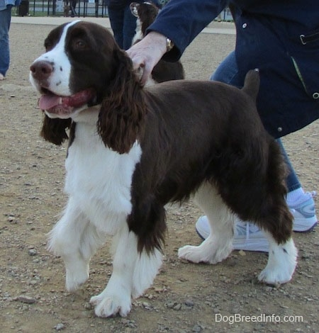 Becham the brown and white English Springer Spaniel is standing in dirt and a person is holding him back from moving. There is another Springer Spaniel in the background