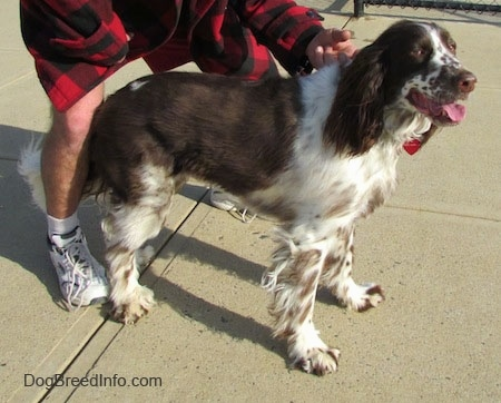 Nigel the brown and white ticked English Springer Spaniel is standing on a concrete patio. Nigels mouth is open and tongue is out. There is a person wearing a red and black plaid shirt behind him holding his collar
