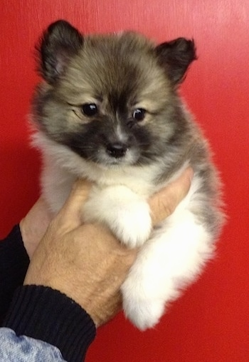 A tan, black and white Imo-Inu puppy is being held up in the air in front of a red wall