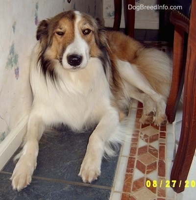 Front view - A brown, tan and white Scotch Collie is laying on a tiled floor against a wall. Next to it is a table and chairs. The dog is squinting one eye.