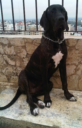 A black brindle Fila Brasileiro is sitting in front of a stone wall with a iron bars over top of it. A view of the town is below.