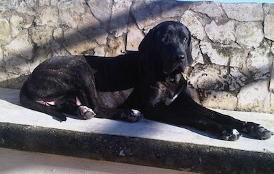A black brindle with white Fila Brasileiro is laying next to a stone wall