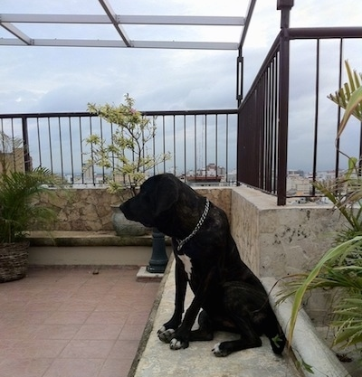 A black brindle with white Fila Brasileiro is sitting on a rooftop in front of a stone wall that has a wall of iron bars coming out of it and looking to the left. There is a view of a town in the distance.