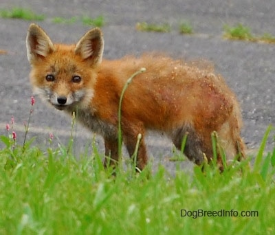 Fox pup standing on blacktop with grass in front of it