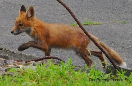 Fox pup running on blacktop
