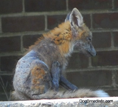 Fox with a bad case of mange sitting on a stone wall