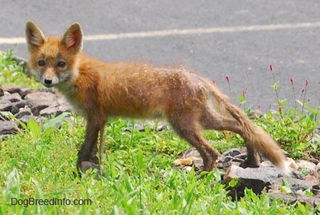 Fox pup standing on rocks in the middle of grass