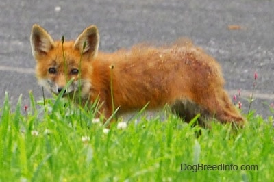 Fox pup kneeling on a blacktop in front of grass