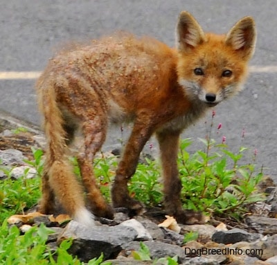 Fox pup with mange standing on rock