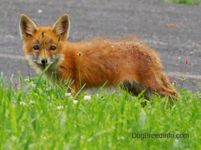 Fox pup with mange standing on blacktop with grass in front of it
