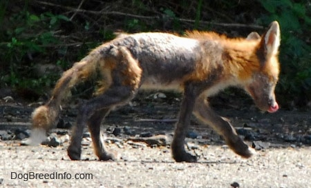 Fox with mange walking on gravel