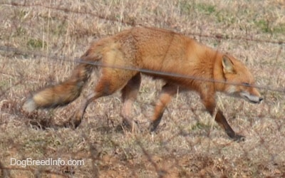 Through Wire Fence - Fox walking on grass