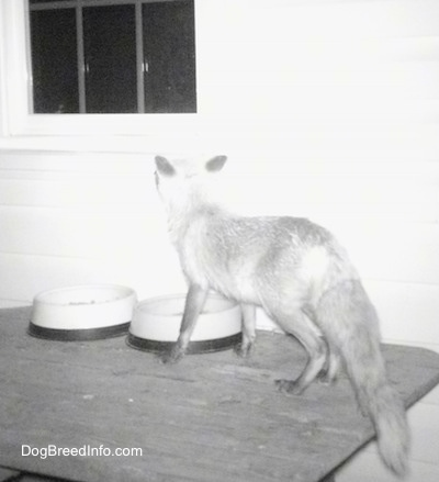 Fox on a wooden table looking into a window