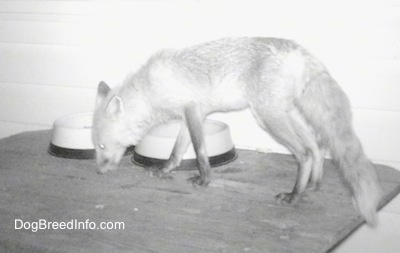 Fox on a wooden table sniffing around the food bowls