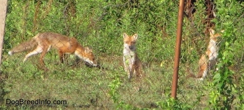 A pack of three fox sitting behind a chain link fence