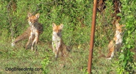 A pack of three fox sitting behind a chain link fence waiting
